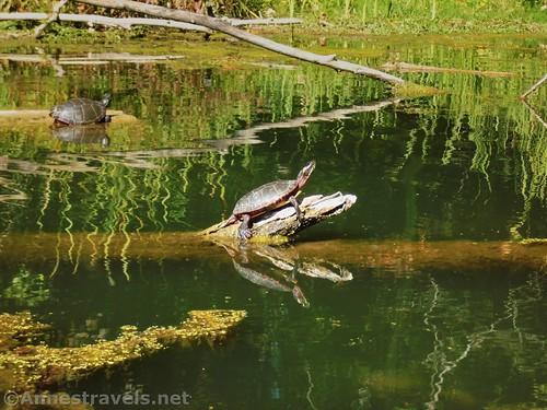 Painted turtles sunning themselves near Black Creek, Churchville, New York