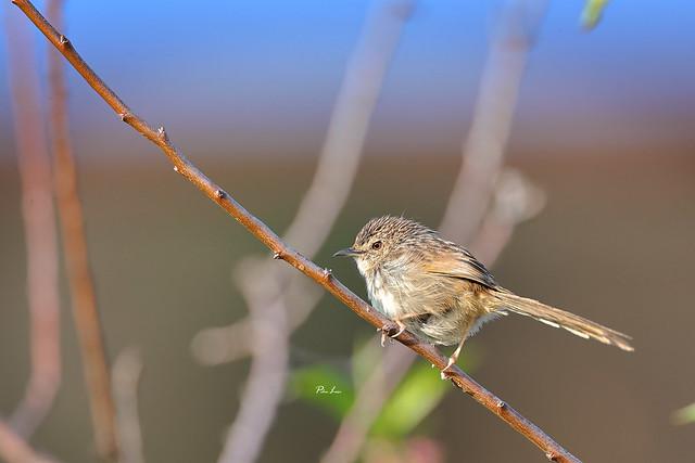 斑紋鷦鶯 Prinia crinigera