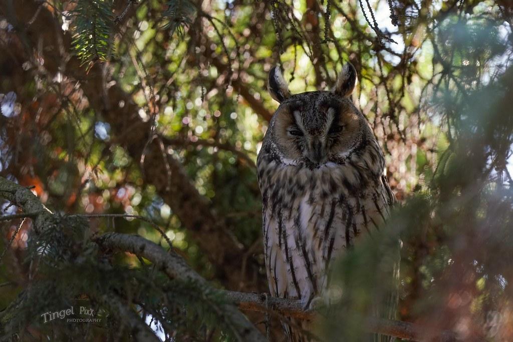 Waldohreule / long-eared owl ( Asio otus )
