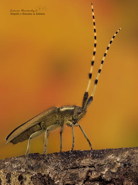 Escarabajo de cuernos largos  ( Agapanthia asphodeli )
