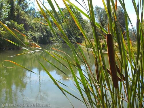 Cattails along Black Creek, Churchville, New York
