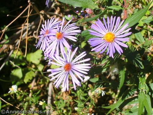 Wildflowers along Black Creek, Churchville, New York