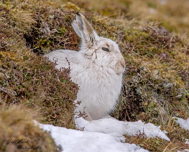 JWL6022b  Mountain Hare...