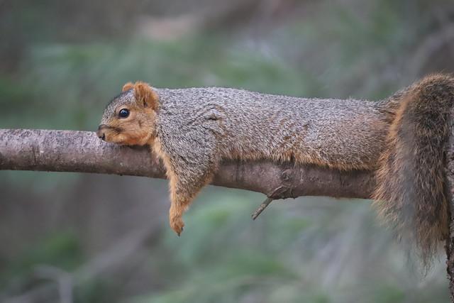 Backyard Red & Fox Squirrels (Ypsilanti, Michigan) - 69/2021 272/P365Year13 4655/P365all-time (March 10, 2021)