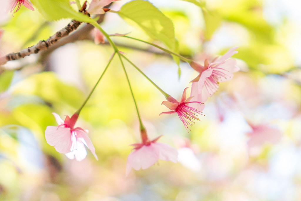 Early Spring Cherry Blossoms : 早春桜