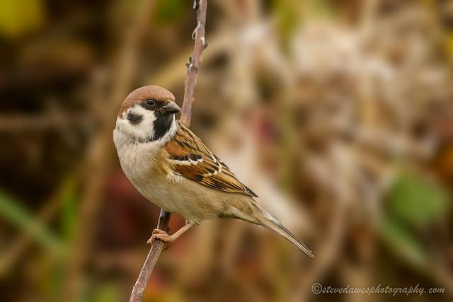 Tree Sparrow (Passer montanus )