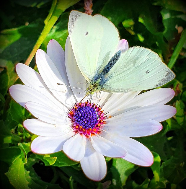White beauties