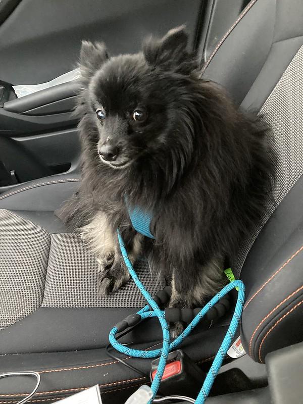 Rascal going to the groomer