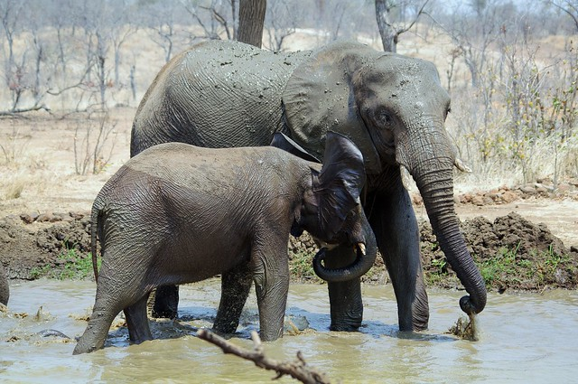 Taking A Mud Bath (Loxodonta africana)