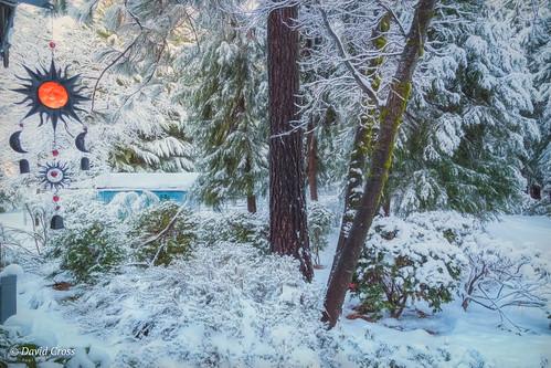 canoncementhillhouse landscape winter sierranevadafoothills mybackyard canonef24105mmf4lisusm topazstudio cedartrees canon5dmarkiii snowyday ponderosapine california camillia lightroom6 rhododendron azaleas blackoak snow nevadacounty nevadacity
