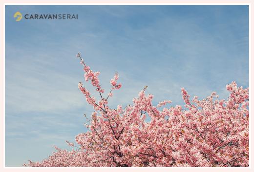 河津桜と青空