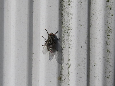 A gray fly with three black stripes on its thorax on white wall