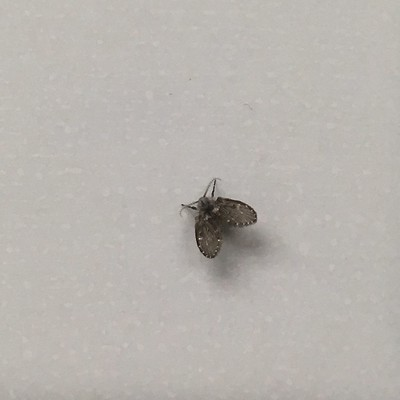 Close-up of a small moth-like fly resting on blue/gray vertical tile.