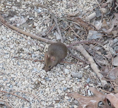 A mouse standing on crushed stone with twigs and leaf debris scattered about.