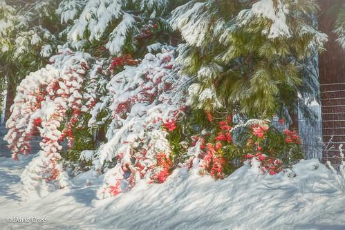 california landscape nevadacity sierranevadafoothills cementhilroad lightroom6 winter topazstudio canonef24105mmf4lisusm canon5dmarkiii snow pyracantha
