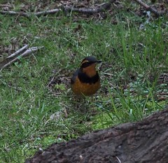 Varied Thrush (Ixoreus navies)
