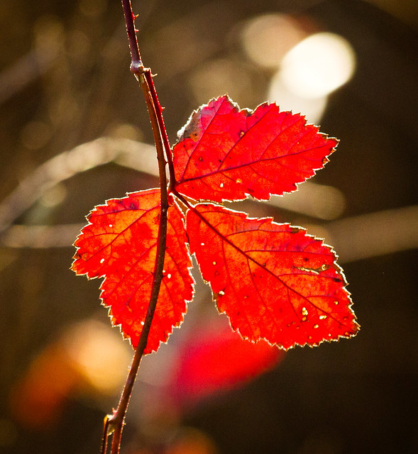 Backlit Red Leaf