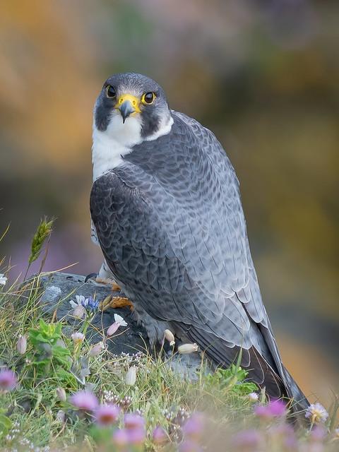 Male Peregine Falcon