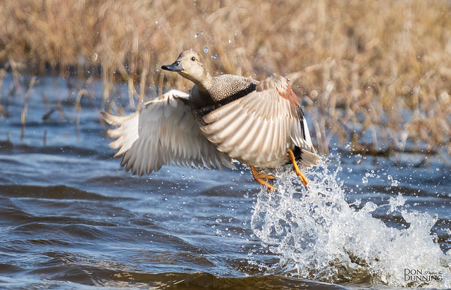 Gadwall Drake Blasting Out of the Water (Mareca strepera)