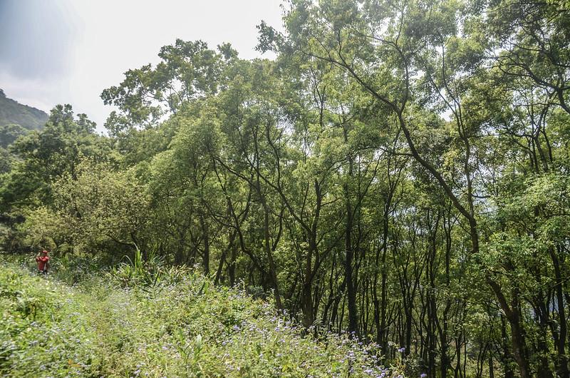 日湯真山西南峰枯木岔路旁樟樹林