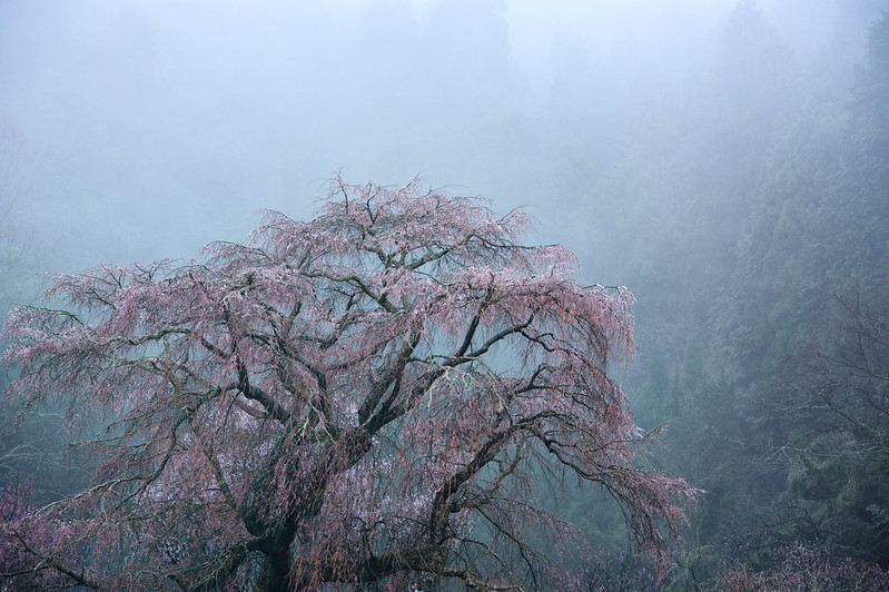 Old cherry blossoms in the mist 2011   ( Adobe Super Resolution )