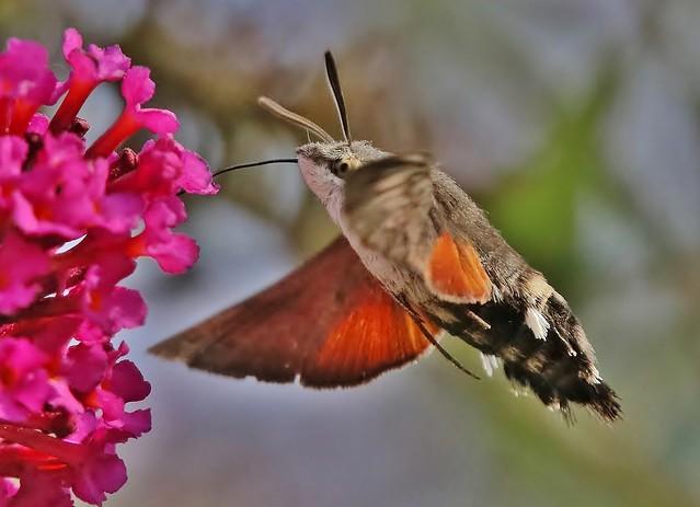Taubenschwänzchen - Hummingbird Hawk-moth