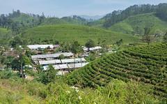 View from the train Kandy to Nuwara- Eliya . Tea plantations.