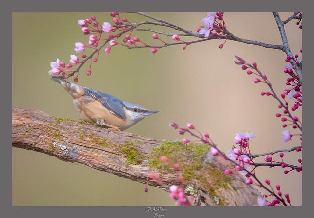 Spring Nuthatch