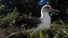 Wisdom ha compiuto 70 anni: la storia del più vecchio uccello selvatico del mondo