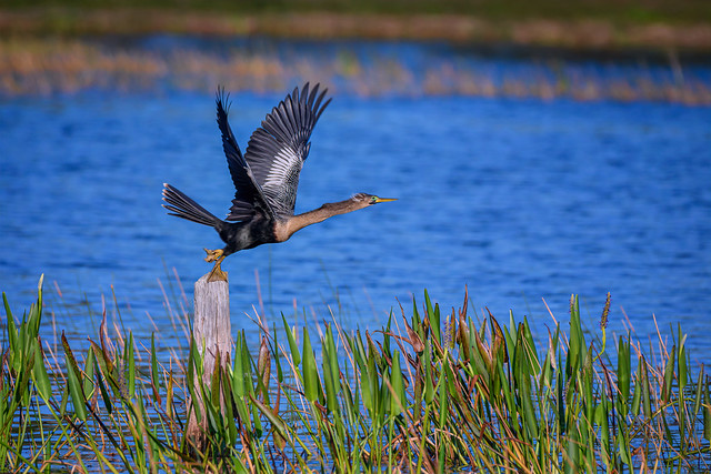 Male Anhinga with breeding plumage taking flight at Babcock Wildlife Management Area near Punta Gorda, Florida