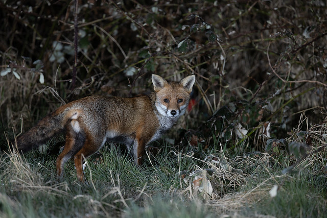 Fox in frosty grass