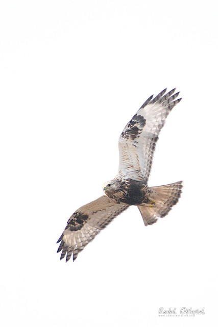 Rough-legged buzzard, káně rousná, CZE, 2021