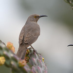 Curve-Billed Thrasher(s)