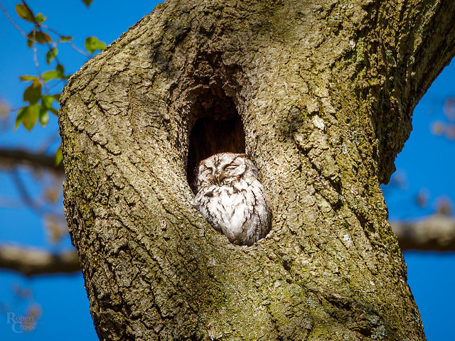 Napping Owl in the Heart of Boston
