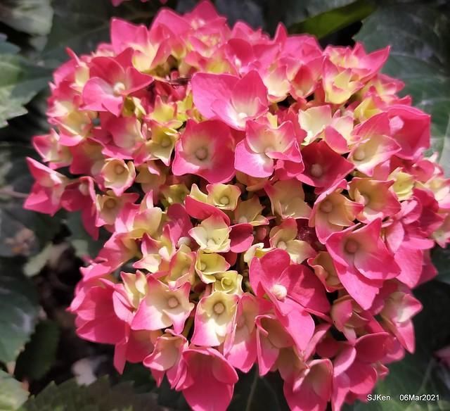 大安森林公園杜鵑花、繡球花與薰衣草花展(Rhododendron , Hydrangea & lavender flower exhibition at Daan Forest Park), Taipei, Taiwan, SJKen, Mar 1, 2021.