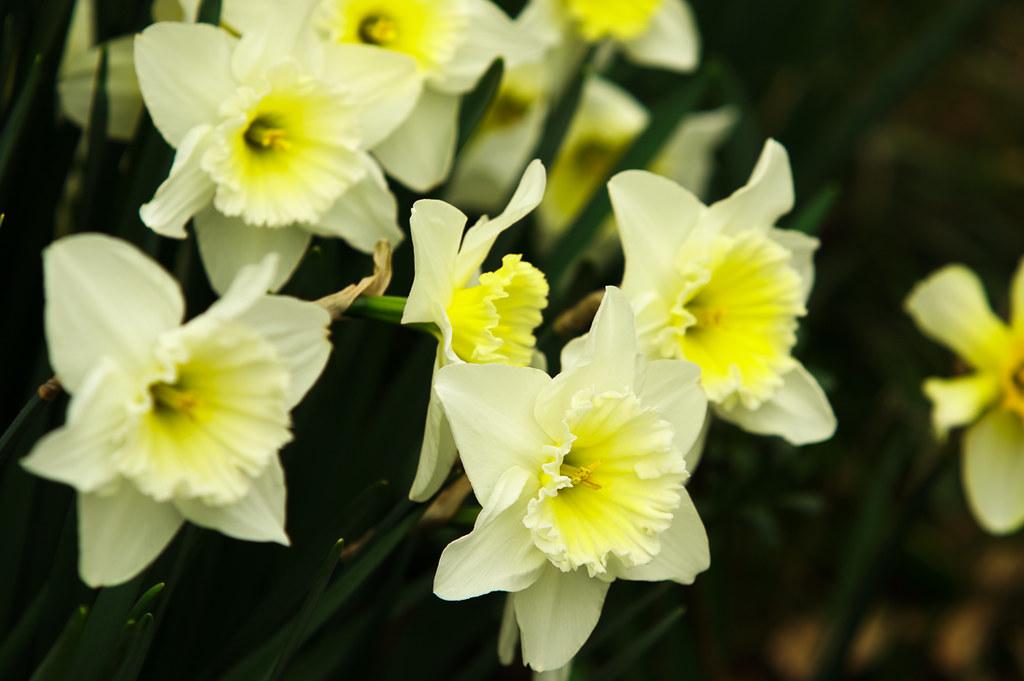 Daffodils (3)