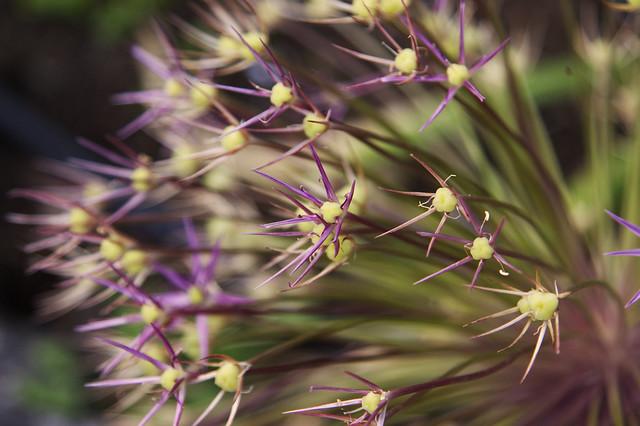 Allium-Macro_3819