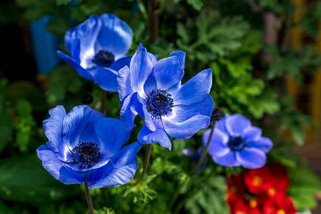 Anemone (scientific name: Anemone coronaria) : アネモネ