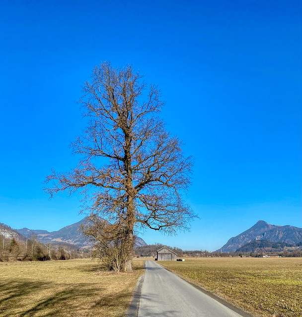 Lone tree by the road in the river Inn valley near Guggenau with Wildbarren mountain (left) and Kranzhorn mountain in Bavaria, Germany