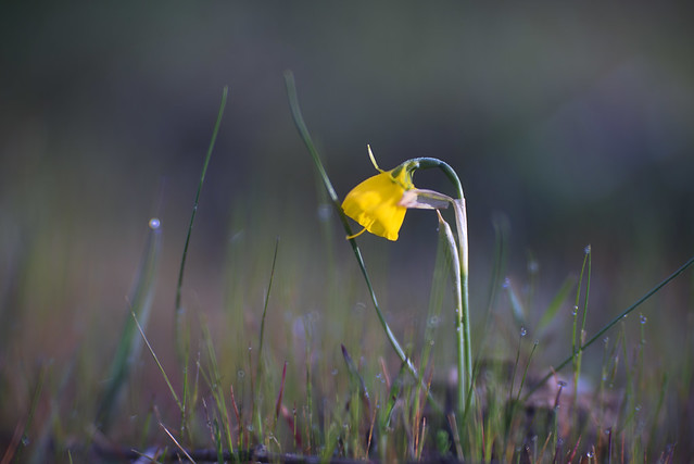 Wil Nature (Narcissus cyclamineus)