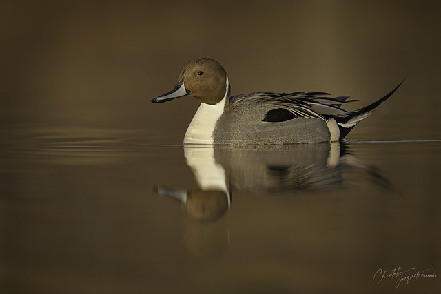 Classic Northern Pintail