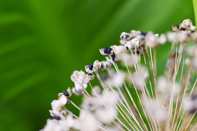 Allium_9587