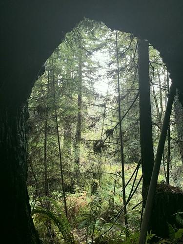 trees forest coastal redwoods mendocinocounty environ pacificnorthwestcoastalcaliforniacanopyunderstoryseclusionsequesteredrefuge
