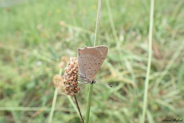 Butterfly 2079  (Lycaena phlaeas)