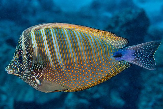 Indian sailfin tang - Zebrasoma desjardinii