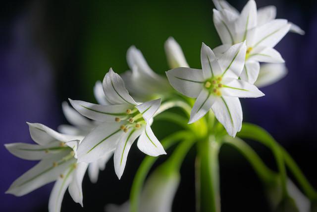 Lágrimas de la Virgen o Ajete (Allium triquetrum)
