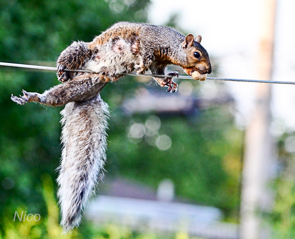 Animal squirrel: Squaddles almost falling off  clothesline after swiping peanut out of the bird feeder CSC_3941