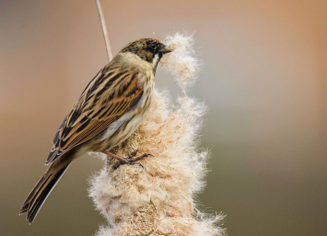 Reed Bunting Explore 13/3/21