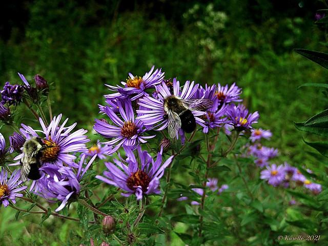 Bees on asters