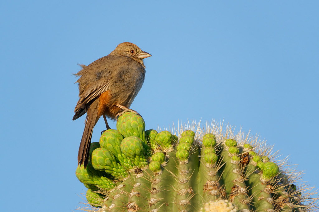 A canyon towhee perches on saguaro flower buds on the Latigo Trail in McDowell Sonoran Preserve in Scottsdale, Arizona on May 15, 2020. Original: _RAC3218.arw